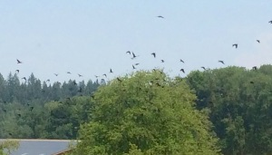 crows - 3